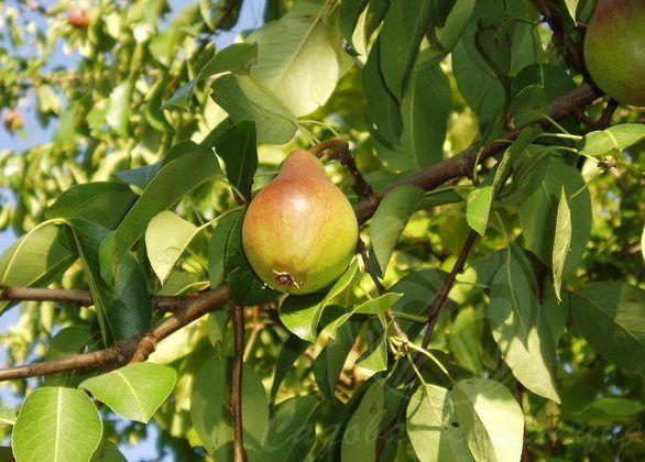 yabloni_i_grushi_pervie_derevya_na_sadovom_uchastke Яблони и груши первые деревья на садовом участке